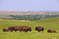 Bison herd grazing on prairie at Tallgrass Prairie Preserve a Nature Conservancy Preserve near Pawhuska Oklahoma, AGPix_0611