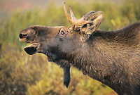 Young bull moose scents for female during the autumn rut in Denali National Park, Alaska