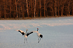 The red-crowned crane is one of Japan's most charismatic and emblematic animals. At approximately four feet tall, the cranes dance, jump, and chase one another in a poetic courtship display of great importance since they mate for life; their exuberant calls ring throughout the mountain valleys. Once found throughout Asia, Japanese cranes are now endangered. However, recent efforts to maintain a habitat on Lake Hokkaido have produced a comeback and offer hope for the cranes' survival in Japan.