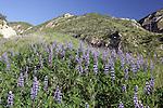 Lupine Along The Foot Hills Along The Santa Clara River