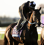 November 1, 2020: Calibrate, trained by trainer Steven M. Asmussen, exercises in preparation for the Breeders' Cup Juvenile at Keeneland Racetrack in Lexington, Kentucky on November 1, 2020. Carolyn Simancik/Eclipse Sportswire/Breeders Cup