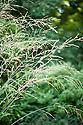 Purple moor grass (Molina caerulea subsp. arundinacea 'Windspiel'), late September.