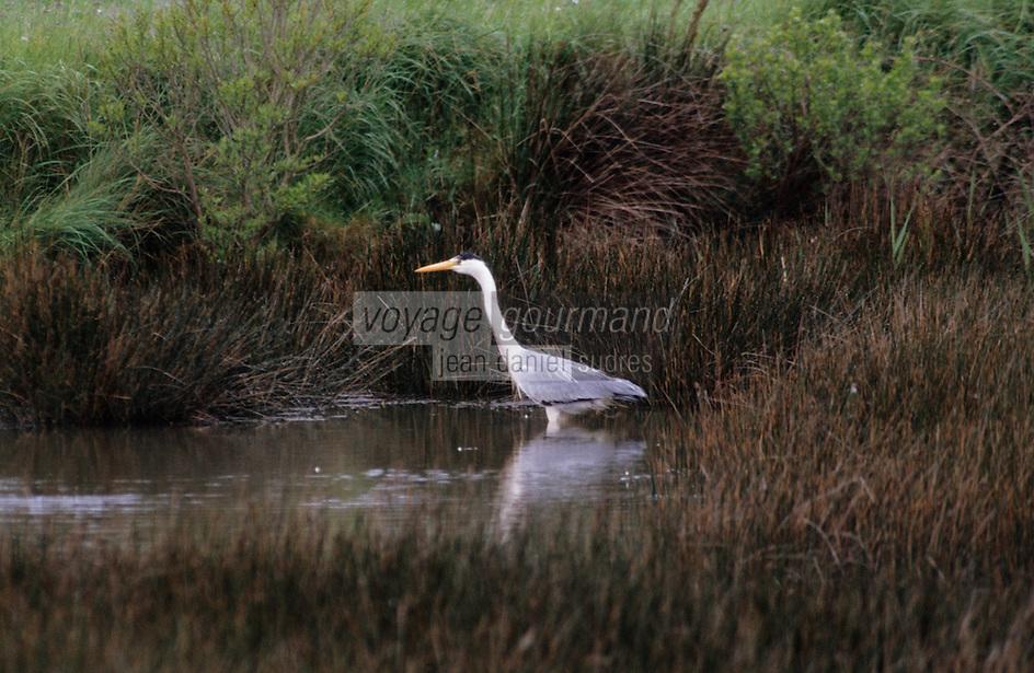 Europe/France/Pays de la Loire/44/Loire-Atlantique/Parc Naturel Régional de Brière/Env Kervalet: Héron gris dans le marais