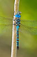 339360043 a wild male blue-eyed darner rhionaeschna multicolor perches on a tree branch at blackrock springs inyo county california