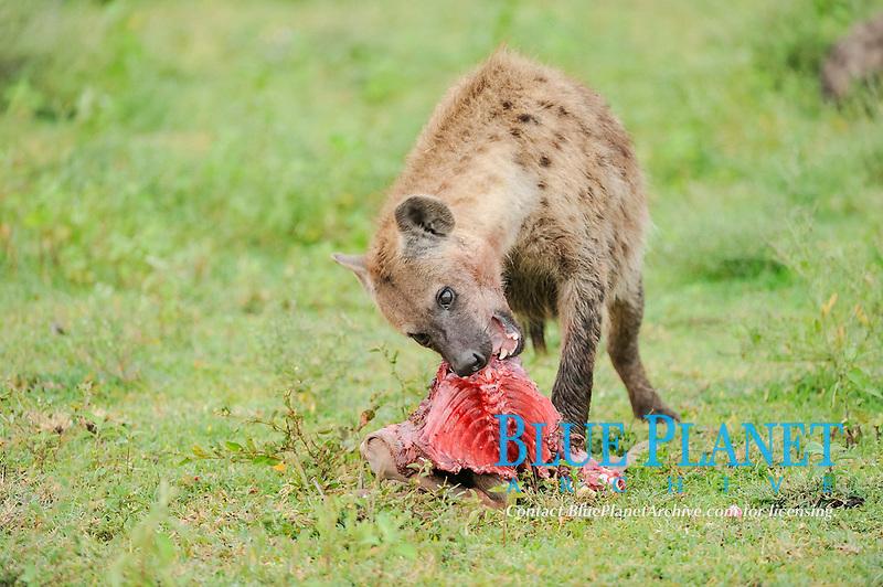 Spotted Hyena or Laughing Hyena (Crocuta crocuta) with carrion, Serengeti, Tanzania, Africa