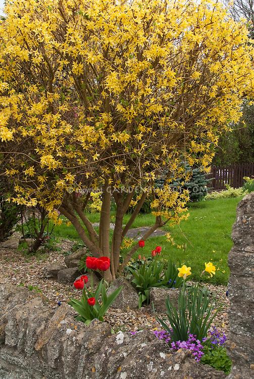 Forsythia Lynwood Gold shrub, spring bulbs daffodils, tulips, lawn, stone wall, in flower in yard garden landscaping