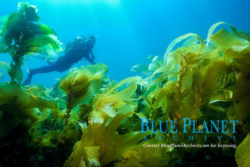 giant kelp, Macrocystis pyrifera, scuba diver, Anacapa Island, Channel Islands, Channel Islands National Park, California, USA, Pacific Ocean