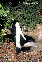 MA09-012z  Striped Skunk - in forest - Mephitis mephitis