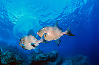 grey triggerfish, Balistes carolinensis eating a jellyfish, Azores, Portugal