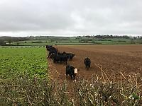 Photo: Richard Lane/Richard Lane Photography. Cattle overwintered grazing on kale. 31/01/2019.