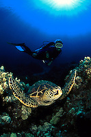 A diver (MR) cautiously approaches a resting green sea turtle, Chelonia mydas. Hawaii