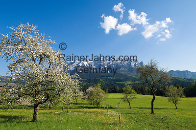 Austria, Tyrol, near Walchsee: orchard meadow, fruit tree blossom, springtime at Kaiserwinkl region with Kaiser mountains, Zahmer Kaiser mountain