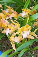 Cymbidium Tiger Tail (miniature variety) orchid