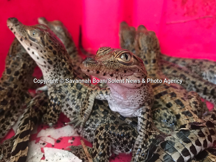 Pictured:   A Cuban Crocodile, a critically endangered species.<br /> <br /> A tiny crocodile hatchling emerges from an egg.   The new arrival is part of a conservation project focused on replenishing the declining numbers of the species.<br /> <br /> When they first hatch, the Cuban crocodiles are as small as 30cm, but will later grow to upwards of two metres when they are released into the wild.   The photos were taken by Savannah Boan at the Criadero de Cocodrilos conservation site in Playa Larga, Cuba, where between 500 and 700 crocodiles hatch every year.   SEE OUR COPY FOR DETAILS<br /> <br /> Please byline: Savannah Boan/Solent News<br /> <br /> © Savannah Boan/Solent News & Photo Agency<br /> UK +44 (0) 2380 458800