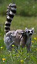 """16/05/16<br /> <br /> """"I want you to climb up that tree...""""<br /> <br /> Three baby ring-tail lemurs began climbing lessons for the first time today. The four-week-old babies, born days apart from one another, were reluctant to leave their mothers' backs to start with but after encouragement from their doting parents they were soon scaling rocks and trees in their enclosure. One of the youngsters even swung from a branch one-handed, at Peak Wildlife Park in the Staffordshire Peak District. The lesson was brief and the adorable babies soon returned to their mums for snacks and cuddles in the sunshine.<br /> All Rights Reserved F Stop Press Ltd +44 (0)1335 418365"""