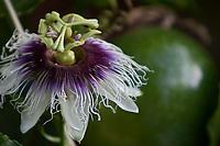 """Maracujá (do tupi mara kuya, """"fruto que se serve"""" ou """"alimento na cuia"""") é um fruto produzido pelas plantas do género Passiflora (essencialmente da espécie Passiflora edulis) da família Passifloraceae. O nome da árvore é também conhecido como Maracujazeiro.<br /> <br /> É espontâneo nas zonas tropicais e subtropicais da América.<br /> <br /> Cultivada também pela sua flor ornamental (tal como as outras espécies do mesmo género botânico), a Passiflora edulis é cultivada com fins comerciais, devido ao fruto, no Caribe, no sul da Florida e no Brasil, que é o maior produtor - e também consumidor - mundial de maracujá. O maracujá de uso comercial é redondo ou ovóide, amarelo ou púrpura-escuro quando está maduro, e tem uma grande quantidade de sementes no seu interior.<br /> <br /> O fruto é utilizado especialmente para produzir suco ou polpa de maracujá, às vezes misturada a suco de outros frutos, como a laranja. Acredita-se que o fruto possua propriedades calmantes.<br /> <br /> A flor do maracujá é polinizada principalmente por um inseto conhecido como mamangava.<br /> Maracajaú, RN, Brasil<br /> Foto Paulo Santos"""