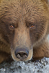 Brown Bear head shot