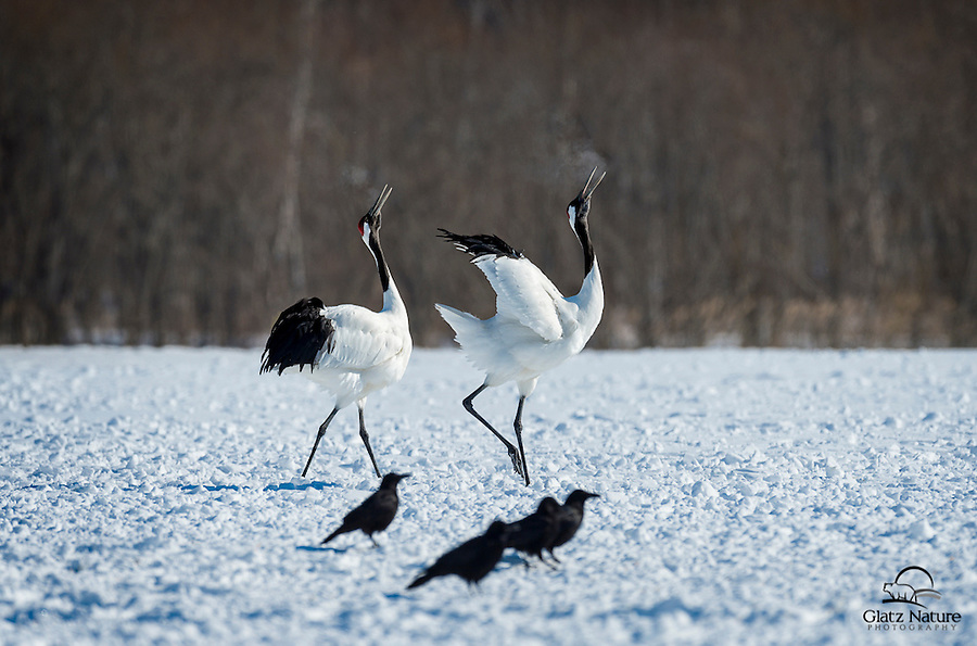 Japanese or Red-crowned Cranes perform their mating dance.  Frigid temperatures don't stop them.  Japan.