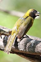 Female crimson-collared grosbeak