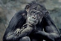 616500001 an elderly female chimpanzee pan troglodytes contemplates life - animal is a zoo animal - species is native to central and east africa