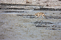 Collared wolf from the Grant Creek wolf pack cross the Toklat river in Denali National Park, Interior, Alaska.