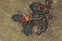 Aaskäfer, Rothalsige Silphe, Rothalssilphe, Rothals-Silphe, mehrere Käfer fressen an der Losung, Kot von einem Marder, Oiceoptoma thoracica, Oiceoptoma thoracicum, Oeceoptoma thoracicum, carrion beetle, burying beetle