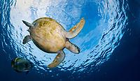 Green sea turtle, Chelonia mydas, swimming with golden spadefish, Platax boersii, Sipadan Island, Sabah, Borneo, Malaysia, Celebes Sea, Pacific Ocean
