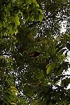 Flying Mantled Howler Monkey (Mono Congo)