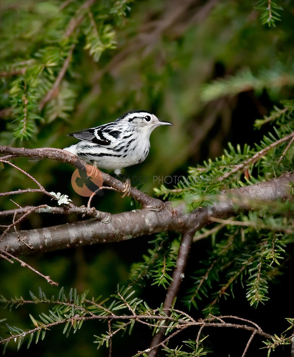Black and white warbler perched in Hemlock tree