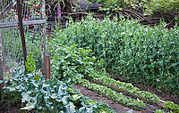 Backyard intensive organic vegetable garden with rows of peas, beans, broccoli and cabbage; MUST CREDIT: Elvin Bishop Garden