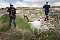 A tourist photographs the Red-Crowned Crane, a threatened species at the Zhalong Wetlands, Heilongjiang Province. China. 2011