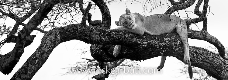 Lioness (Panthera leo) resting / sleeping in a tree. Ngorongoro Conservation Area / Serengeti National Park, Tanzania.