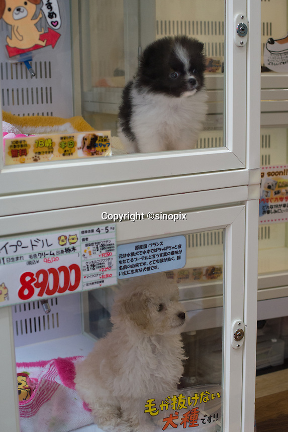 puppies in the glass cases at the pet shop in Shibuya, Tokyo