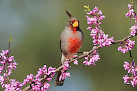 Pyrrhuloxia (Cardinalis sinuatus), male on Eastern Redbud (Cercis canadensis), Dinero, Lake Corpus Christi, South Texas, USA