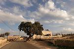 T-119 Kermes Oak in Yabrud
