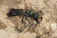 Hahnenfuß-Scherenbiene, Hahnenfuss-Scherenbiene, Scherenbiene, Scherenbienen, Weibchen, sammelt Lehm für den Niströhren-Verschluss, Chelostoma florisomne, Sleepy Carpenter Bee, large scissor bee, large scissor-bee, female