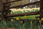Split rail fence, McLaughlin's Daffodil Hill in bloom, Volcano, Calif.