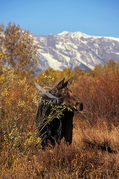 "COW MOOSE (Alces alces) browsing.  The name 'moose"" is derived from the Algonkian name that means ""eater of twigs"". Moose require approx 5 lbs of browse per hundredweight per day. Autumn. Rocky Mountains. Grand Teton National Park, Wyoming. U.S.A."