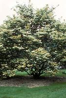 Chionanthus virginicus Fringe Tree in spring bloom