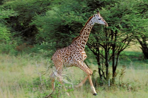 Young Masai Giraffe (Giraffa camelopardalis) running, East Africa.