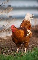 GERMANY, free-range chicken breeding / DEUTSCHLAND, Huhn in Freilandhaltung