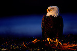 The regal appearance of the bald eagle lends to this bird as a poignant symbol of the United States.<br /> Southcentral Alaska