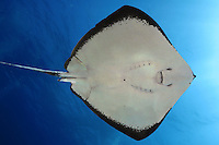 This overhead view of a brown stingray Dasyatis latus was taken at the Maui Ocean Center. Hawaii.