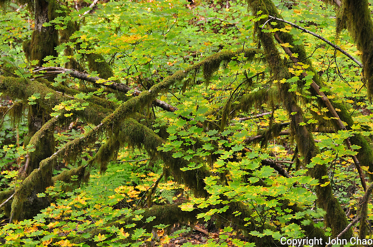 Sol Duc Forest View of Vine Maples and moss & lichen covered branches in Olympic National Park