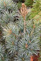 Japanese White Pine, Negishi, Pinus parviflora