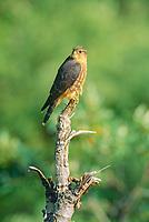 Merlin perched on dead tree stump in Denali National Park, Alaska