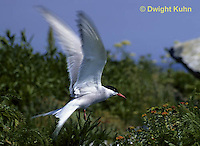 MC59-013z  Arctic Tern - flying above island - Machias Seal Island, Bay of Fundy - Sterna paradisaea