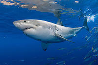 great white shark, Carcharodon carcharias, adult male, Guadalupe Island, Mexico, Pacific Ocean