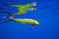 mahi-mahi, dorado, or common dolphin-fish, Coryphaena hippurus, adult cow, Kona Coast, Big Island, Hawaii, USA, Pacific Ocean