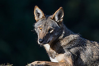 Red Wolf (Canis lupus rufus) resting.  Highly Endangered Species.  Found primarily in the Southeastern United States.  This photo taken at one of several captive breeding facilities for Red Wolves.